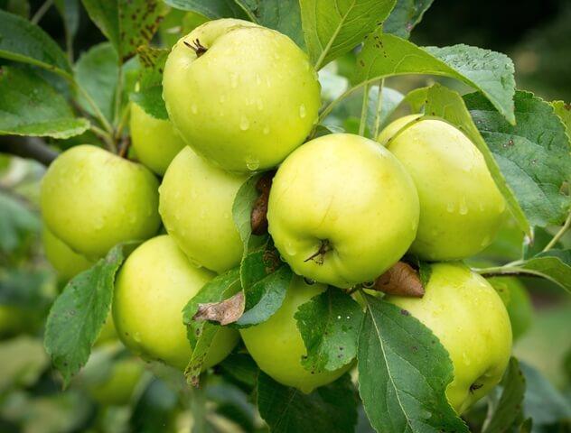 скручиваются листья на яблоне