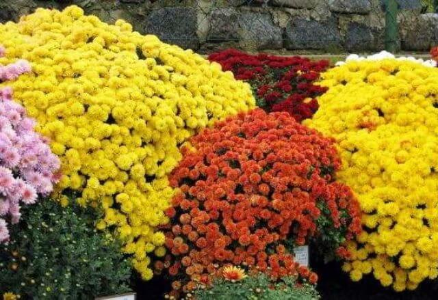 выращивание хризантемы кустовой