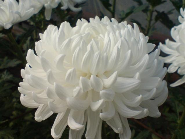 выращивание крупноцветковой хризантемы