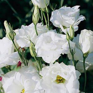 Эустома Белая крупноцветковая махровая