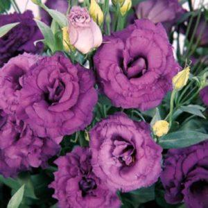 Эустома Пурпурная крупноцветковая махровая