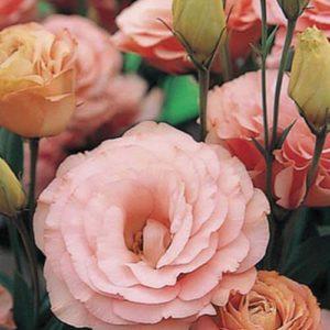 Эустома Розовая крупноцветковая махровая