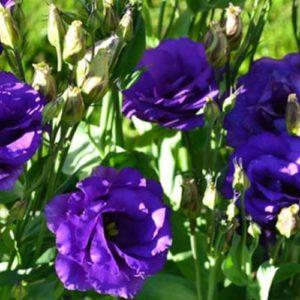 Эустома Синяя крупноцветковая махровая