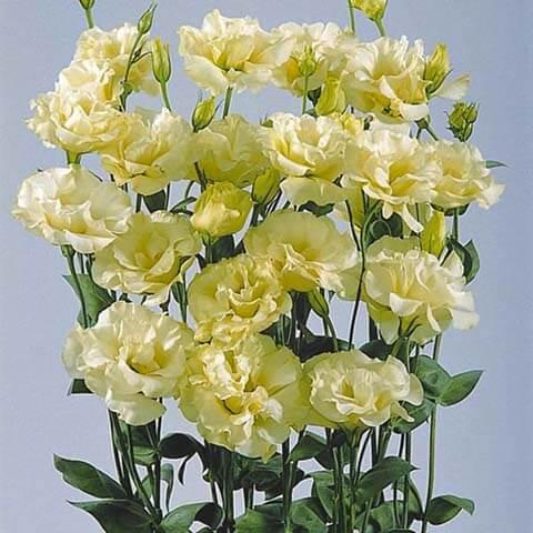 Эустома Желтая крупноцветковая махровая