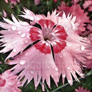 Гвоздика амурская Розовый Амур