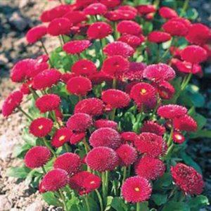 Маргаритка Бал Роз красная