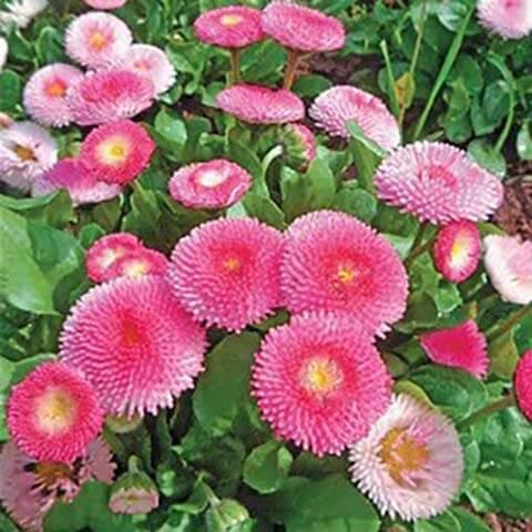 Маргаритка Бал Роз розовая