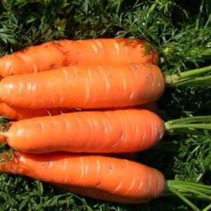 Морковь Красная боярыня