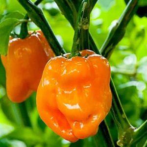Перец острый Хабанеро оранжевый