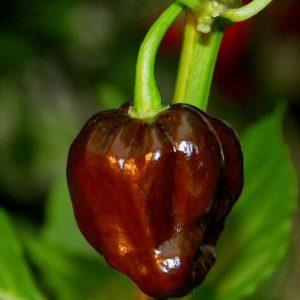Перец острый Хабанеро шоколадный