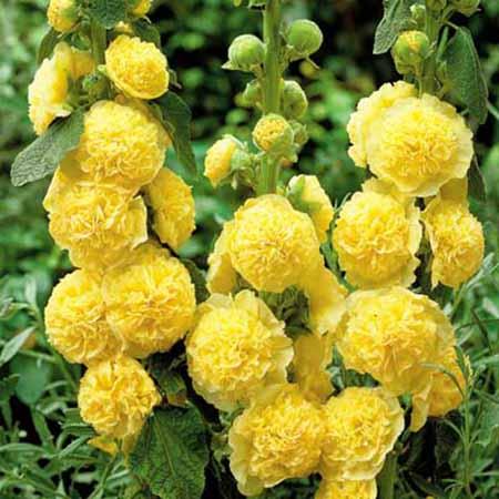 Шток-роза Майоретте желтая
