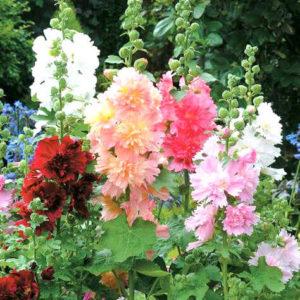 Шток - роза Королевская, смесь, махровая