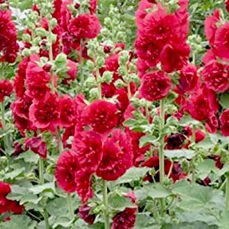 Шток-роза Майоретте, красная