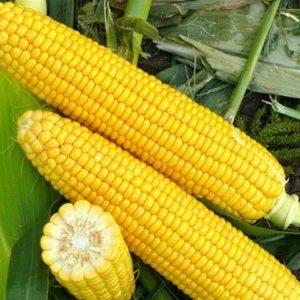 Кукуруза сахарная Добрыня F1