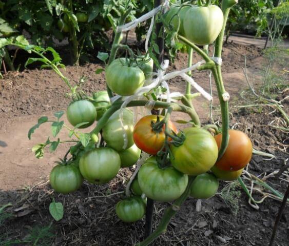 Нужно ли обрывать нижние листья у томатов
