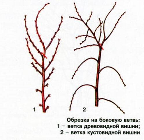 Обрезка на боковую ветвь вишни