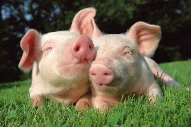 Силос для свиней