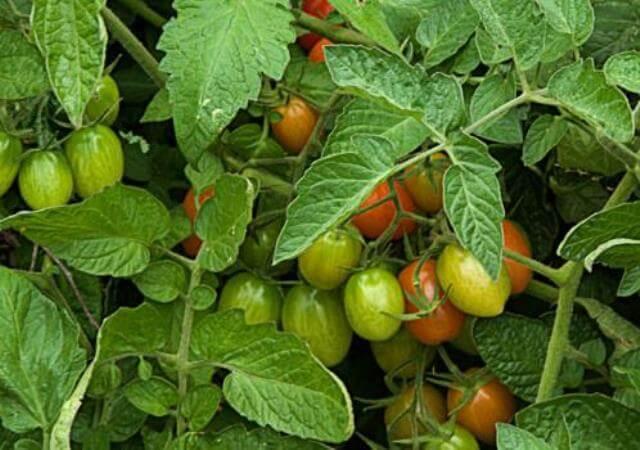 Удаляем нижние листья томатов
