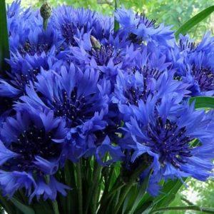 Василек синий
