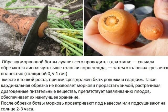 обрезать морковь перед хранением