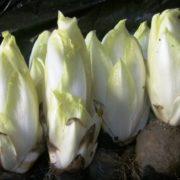 Выращивание салатного цикория Белое золото