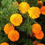 Бархатцы Оранжевые отклоненные низкие.
