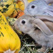 кабачок Золотой Цеппелин - на корм животным