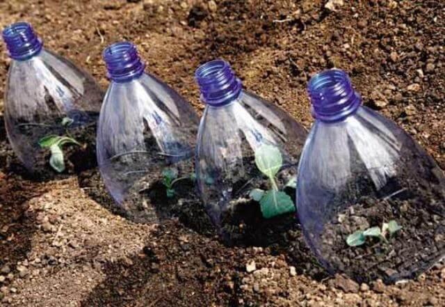 Рассада под пластиковой бутылкой