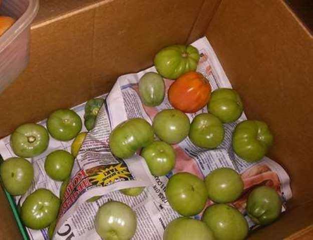 дозаривание зеленых томатов