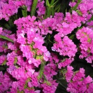 Кермек Карминово-розовый