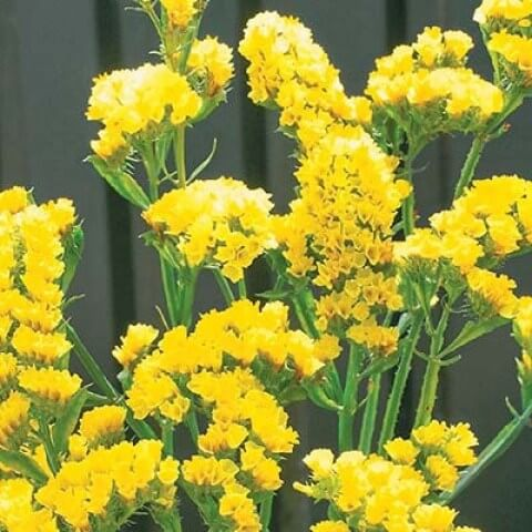 Кермек Насыщенно-желтый