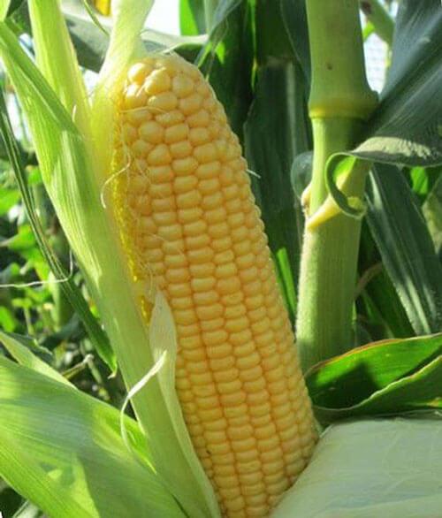 Кукуруза Настоящее Золото