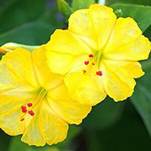 Мирабилис Желтый