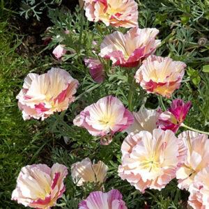 Эшольция Цветок Яблони