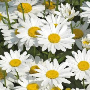 Ромашка белая, крупноцветковая