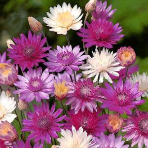Сухоцвет (Ксерантум), смесь