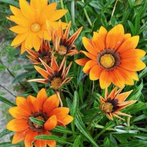 Газания Промеза оранжевая