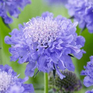 Скабиоза Махровая, лавандово-синяя