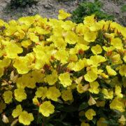 Энотера миссурийская желтая