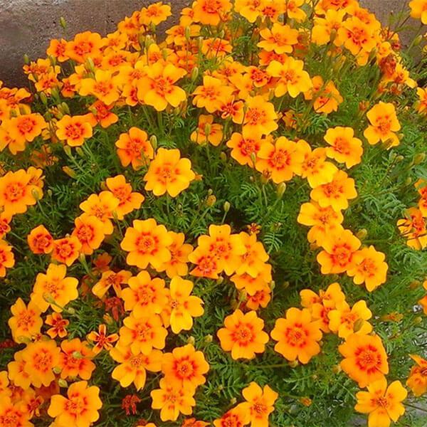 Бархатцы тонколистные оранжевые