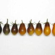Как созревает томат Индиго грушевые капли