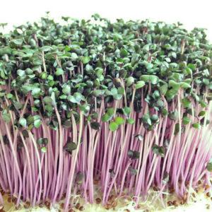 Микрозелень краснокочанной капусты