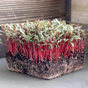 Микрозелень мангольд красный