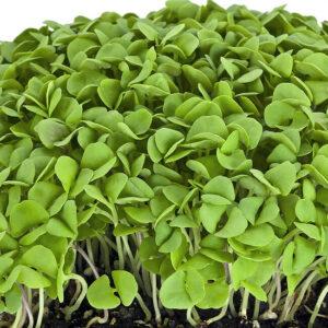 микрогрин Базилик зеленый