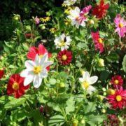 Георгины Веселые ребята в саду