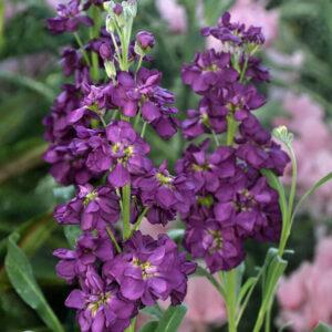 Левкой Фиолетовый