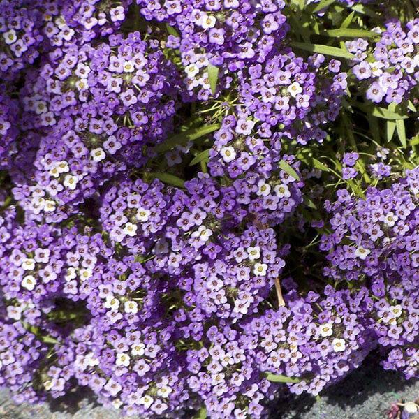 Алиссум Фиолетовый